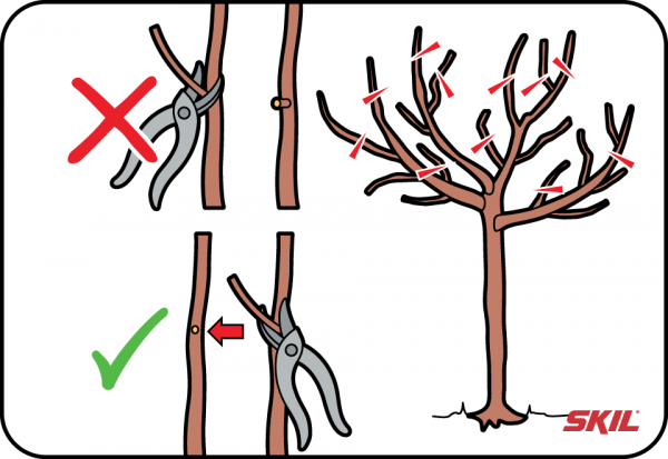 aprikosenbaum schneiden wann
